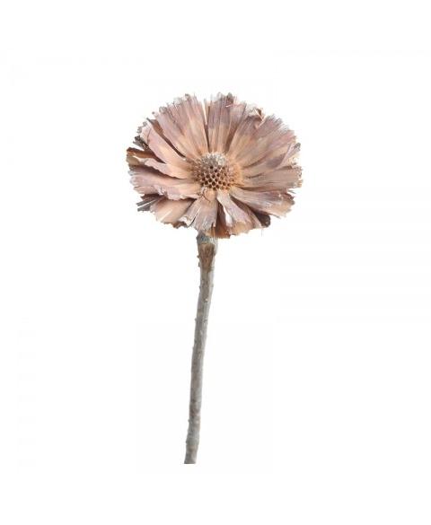 Protea rosetta albita