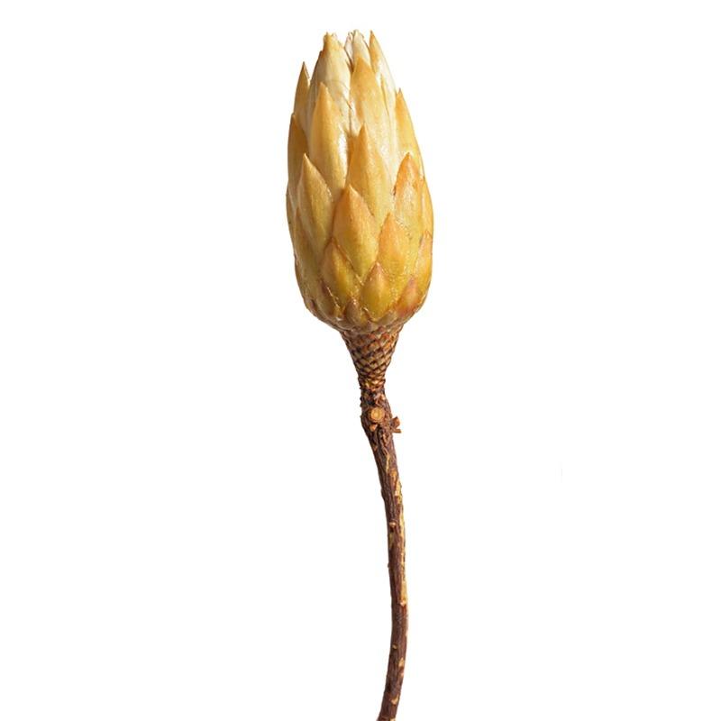 Protea uscata crem