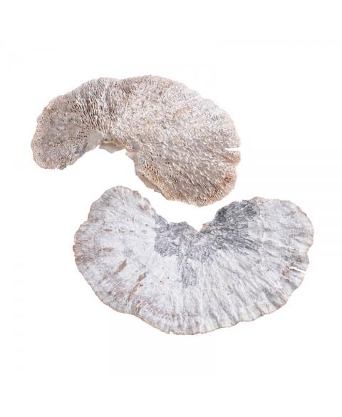 Ciuperci decorative uscate