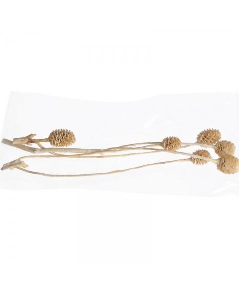 Ramuri albite, uscate de Sabulosum