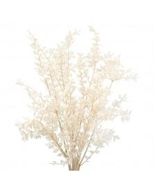 Ruscus albit