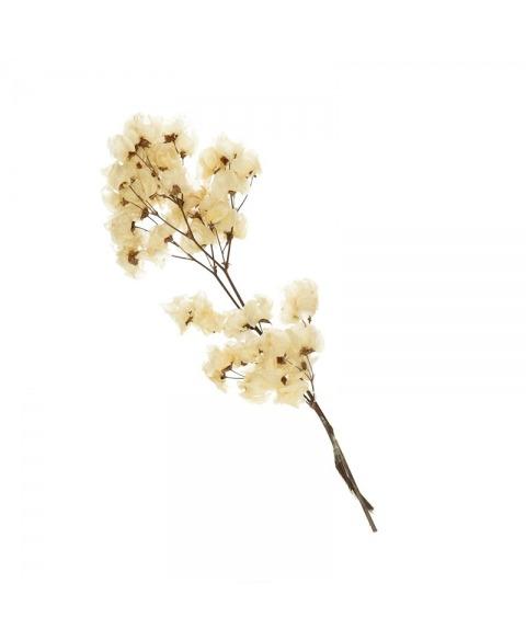 Bougainvillea planta uscata albita