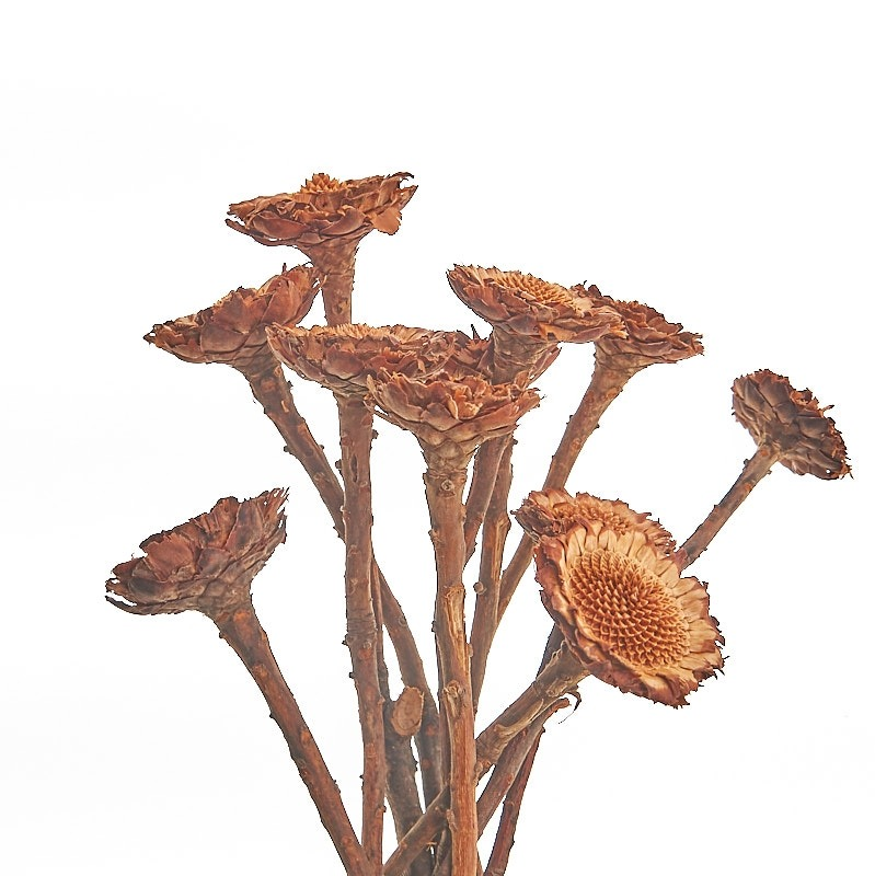 Protea margareta