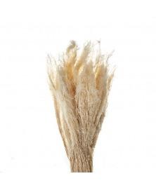 Panicum albit