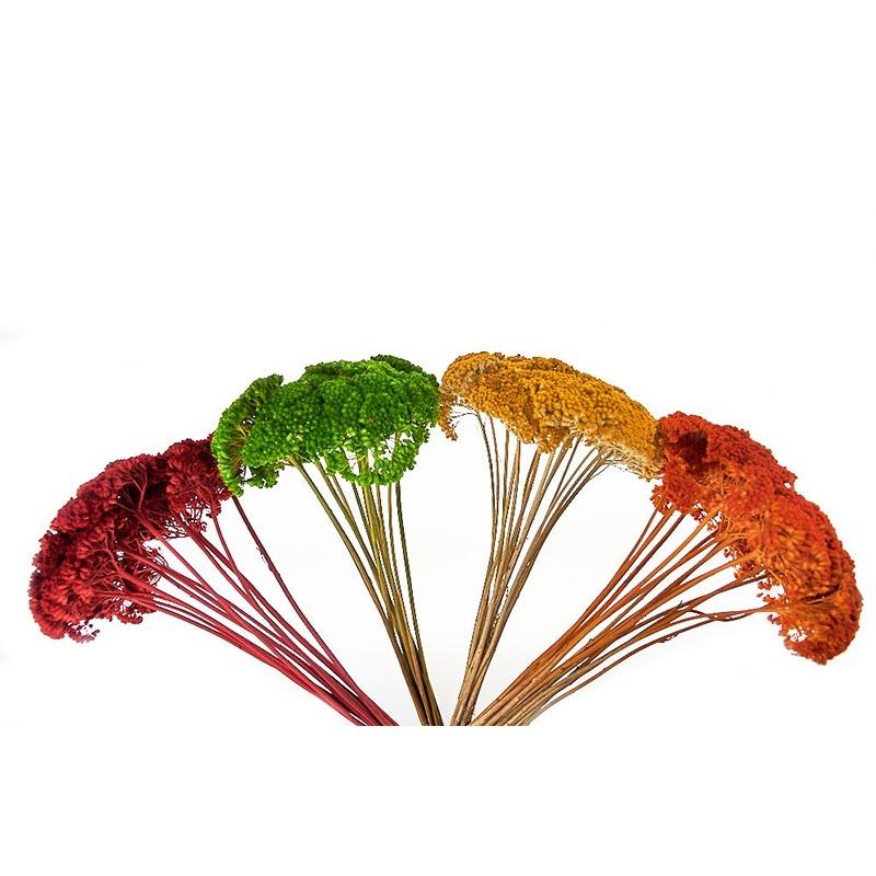Achillea culori diverse