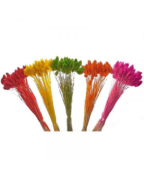 Phalaris culori diverse