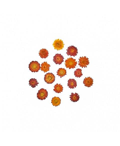 Helichrysum mix