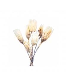 Protea albita as