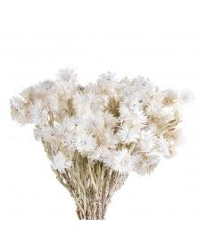 Helichrysum cu tija albit