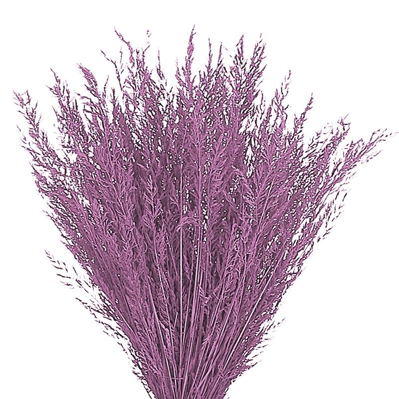 Iarba decorativa Cyparissias culori diverse